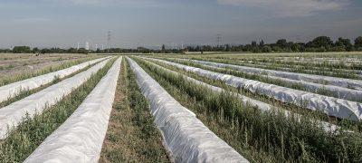 plantage-landwirtschaft-abgedeckte-planzen-afs